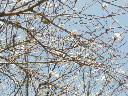 フレスポの桜1