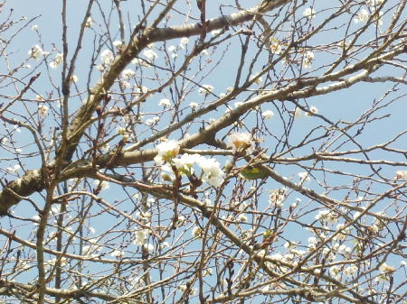 フレスポの桜2