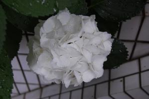 2012.6.17_紫陽花