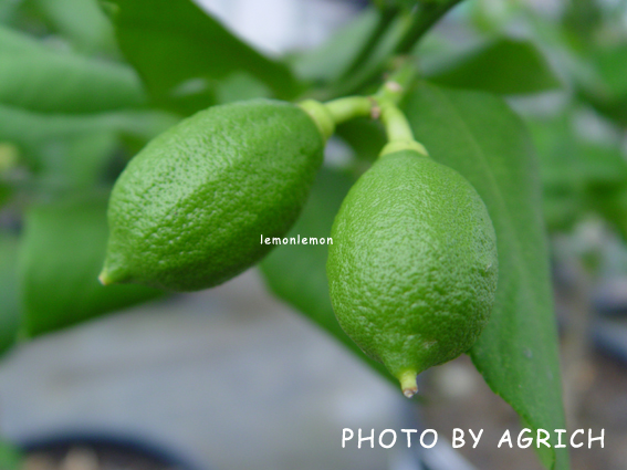 lemonlemon