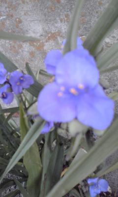 紫つゆくさ