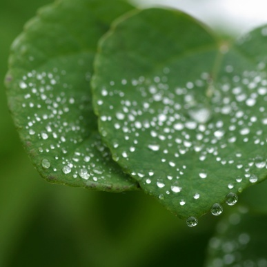 カツラの葉の水玉