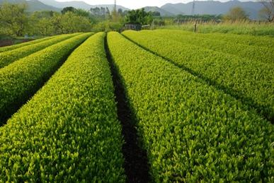 茶摘みを待つ茶畑