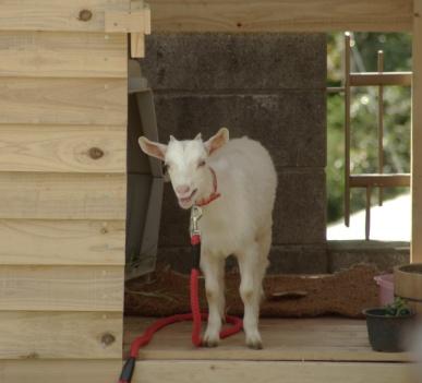 小屋から顔を出したヤギ