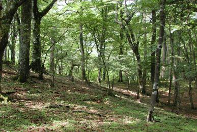 下草のない丹沢の森