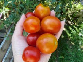 9月29日収穫
