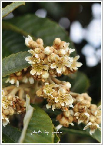 ビワの花。 105