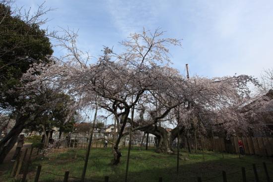 般若院垂れ桜 007交換