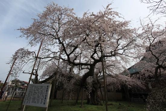 般若院垂れ桜 032交換
