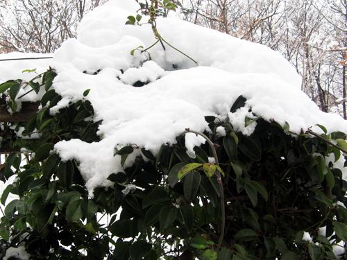 冬のムベ棚
