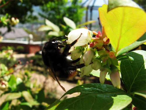 ブルーベリーとハチ