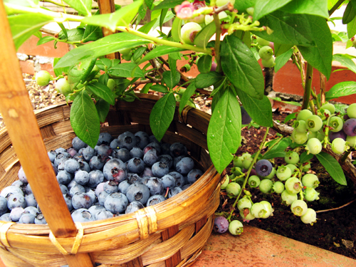 収穫したブルーベリー