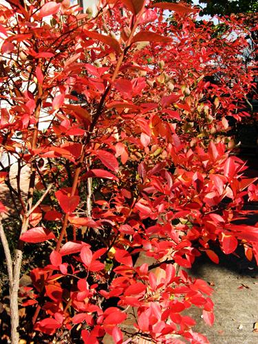 ノーザン種ブルーベリー紅葉