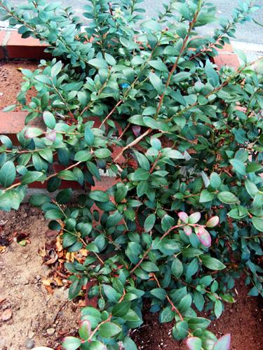 サザン種ブルーベリー