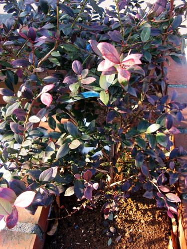 サザン種ブルーベリー紅葉?