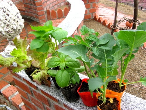 キッチンガーデンの野菜たち2012-1
