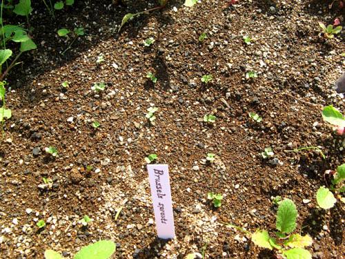 メキャベツの芽-1