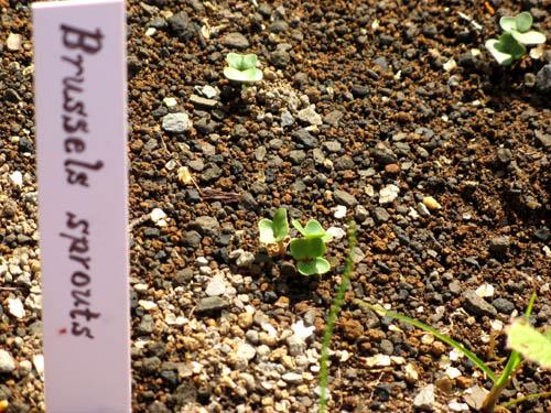 メキャベツの芽-2