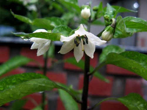シシトウの花-1
