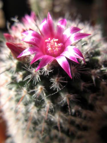 サボテンの開花ー1