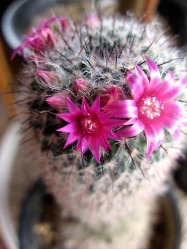 サボテンの開花ー2