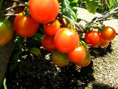 ミニトマト-1