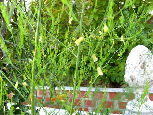 アスパラガスの花-2