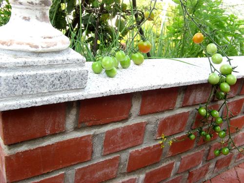 9月末のミニトマト