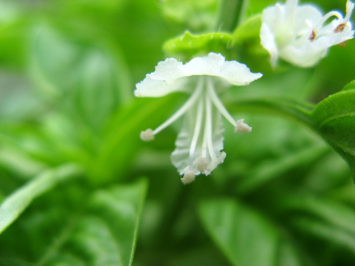 バジルの花ー1