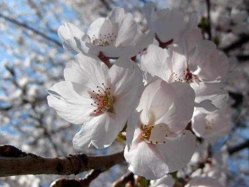 桜満開ー3