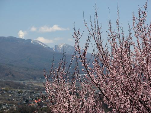 桜満開ー1