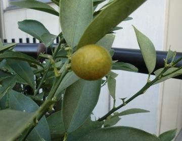 柚子のみ黄色