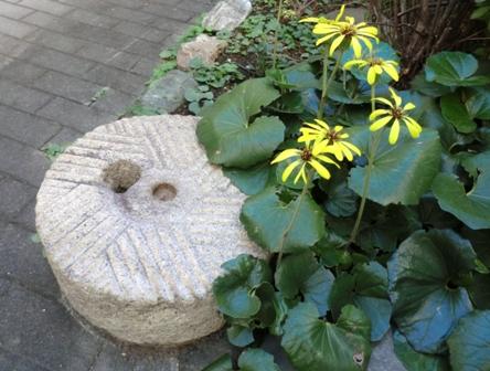ツワブキ黄花