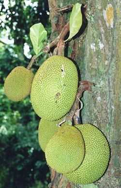 250px-Artocarpus_heterophyllus_fruits_at_tree.jpg