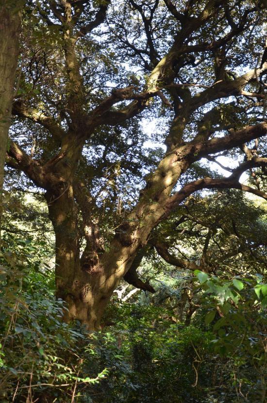 昭和26年国指定植物天然記念物 シイの木群叢