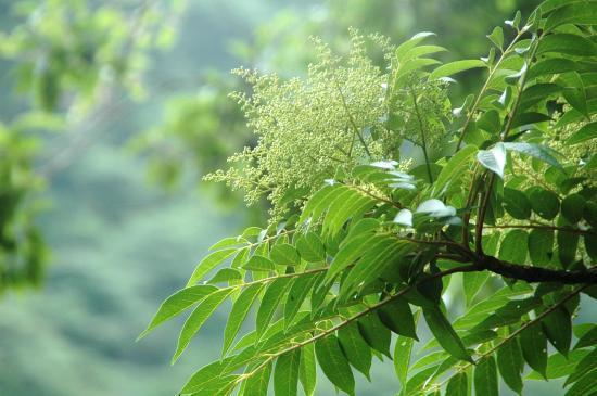 ヌルデに似ています。6月頃に白い花を咲かせます アオバセセリ蝶の食草です。