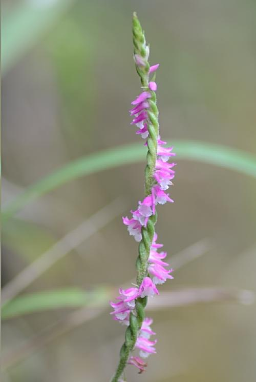 花序が右巻き 白い唇弁の縁が細かく裂けている