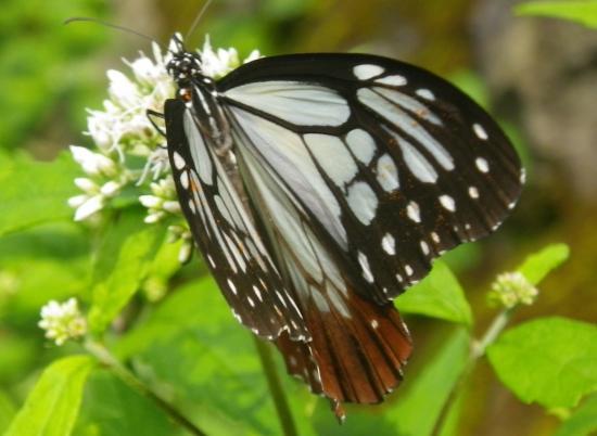 ヒヨドリバナで 吸蜜中は指で羽を挟めます