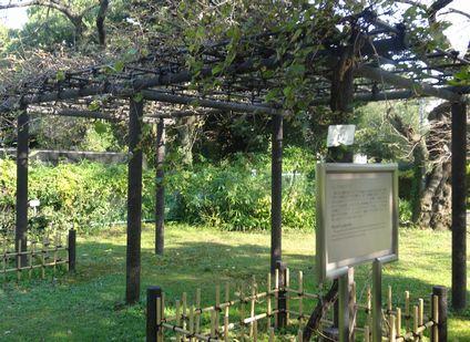 ブドウの木