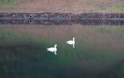 桜田門近くに白鳥