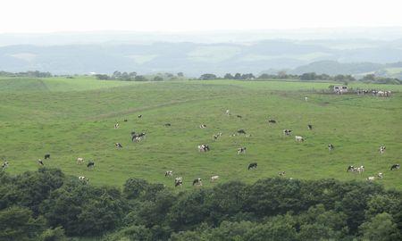 乳牛の放牧