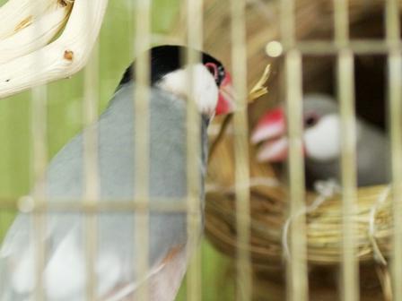 藁を巣に運ぶごま (7)