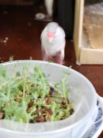 未 セサミ 豆苗 畑 野菜 餌 (1)