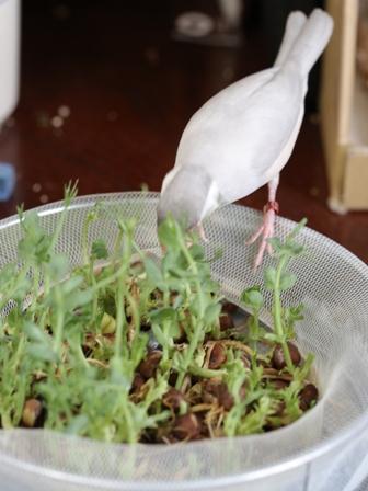 未 セサミ 豆苗 畑 野菜 餌 (2)