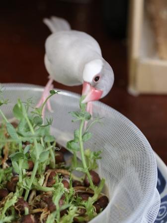 未 セサミ 豆苗 畑 野菜 餌 (3)