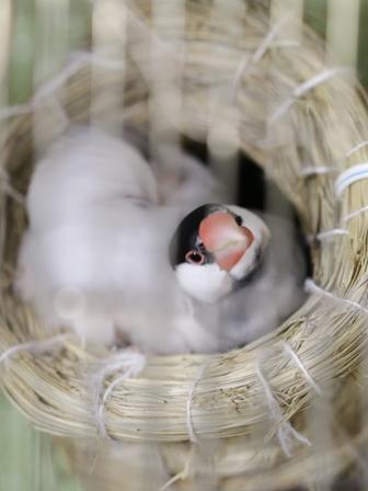 未 セサミ ごま 巣 不調 産卵 威嚇 隙間 (6)