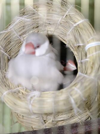 未 セサミ ごま 巣 不調 産卵 威嚇 隙間 (11)