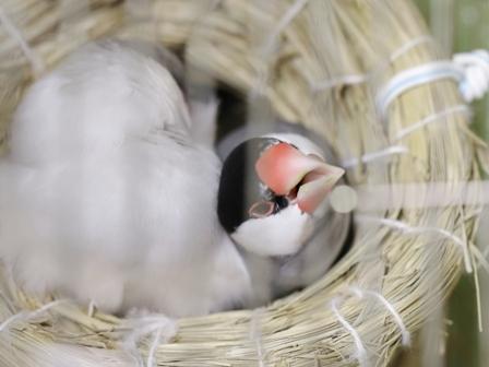 未 セサミ ごま 巣 不調 産卵 威嚇 隙間 (12)