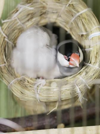 未 セサミ ごま 巣 不調 産卵 威嚇 隙間 (14)
