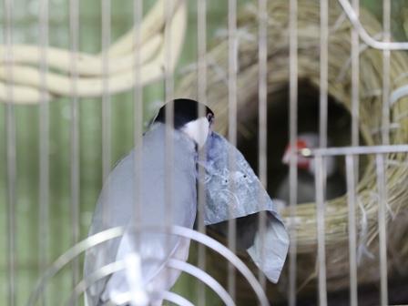 未 ごま セサミ 巣 あぶらとり紙 巣材 (2)